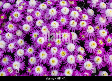 Bright purple white seasonal flowers in lovely floral pattern and design used for texture backgrounds. - Stock Photo
