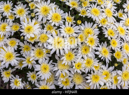 Bright white yellow seasonal flowers in lovely floral pattern and design used for texture backgrounds. - Stock Photo