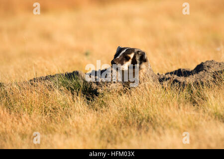 Badger, Red Rock Lakes National Wildlife Refuge, Montana - Stock Photo