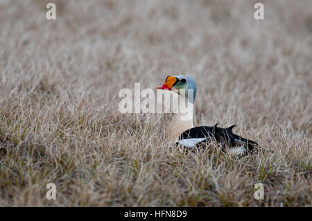 Drake king eider (Somateria spectabilis spectabilis) on tundra near Barrow Alaska - Stock Photo