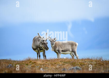 Reindeer in Svalbard - Stock Photo