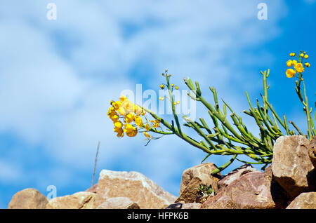 Cactus flowers growing from stones. Blue sky in the background - Stock Photo