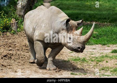 Eastern Black Rhino - Stock Photo
