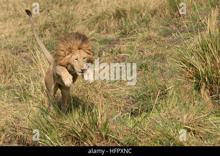 Male lion jumping across a ditch in the Masai Mara - Stock Photo