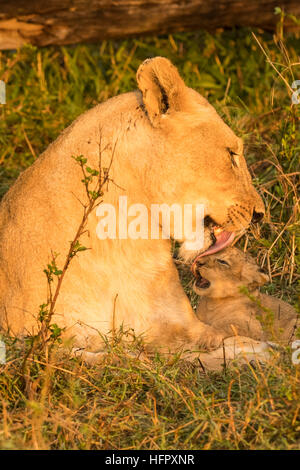 Lioness licking and cleaning her two very young cubs - Stock Photo