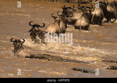 Crocodile attacking wildebeeste - Stock Photo