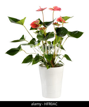 Close up Attractive Genus Anthurium Flower Plant, Konwn as Flamingo Flower, on White Pot Isolated on White Background. - Stock Photo