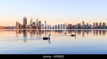 Two black swans (Cygnus atratus) on the Swan River at sunrise. Perth Australia. The black swan is the state bird - Stock Photo