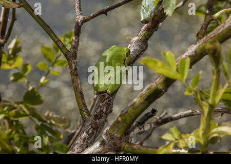 Italian tree frog, Hyla intermedia in rose bush, Abruzzo, Apennines, Italy. - Stock Photo