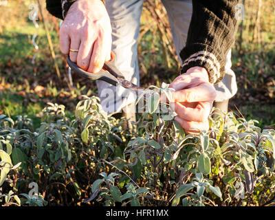 Gardener harvesting sage (Salvia officinalis)  leaves in a herb garden to make fresh sage tea.. - Stock Photo
