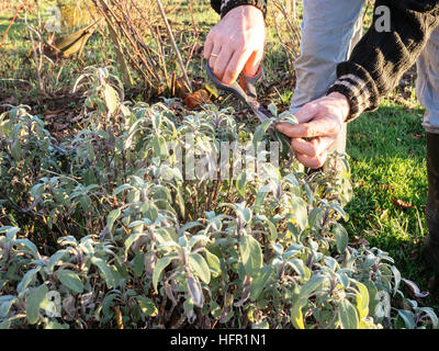 Gardener harvesting sage (Salvia officinalis) leaves in a herb garden to make fresh sage tea. - Stock Photo
