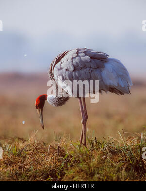 Sarus Crane,(Grus antigone), shaking out feathers after preening, Keoladeo Ghana National Park, Bharatpur, India - Stock Photo