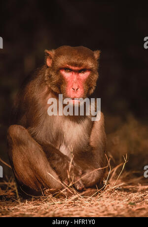 male Rhesus Macaque,(Macaca mulatta), sits in tree shade shade, Keoladeo Ghana National Park,Rajasthan, India - Stock Photo