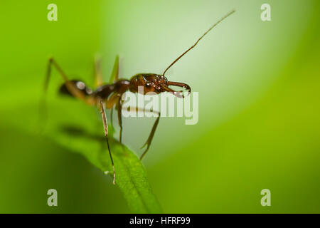 A trap-jaw ant (Odontomachus sp.). - Stock Photo