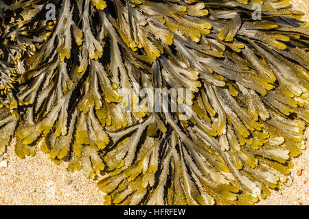 toothed Wrack or serrated wrack (Fucus serratus) is a seaweed found on middle of the shore in the United Kingdom. - Stock Photo