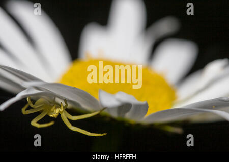 A flower crab spider (Misumena vatia) waits for pollinating insects beneath the flower of an oxeye daisy. - Stock Photo