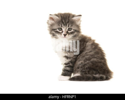 Cute Norwegian Forest baby cat kitten sitting facing the camera isolated on a white background