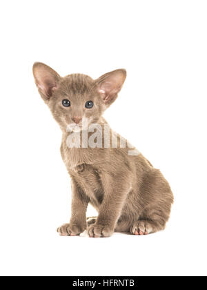 Cute sitting grey blue sitting oriental shorthair baby cat kitten with blue eyes facing the camera isolated on a - Stock Photo