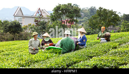 Workers operating mechanical tea harvester, Green Tea. - Stock Photo