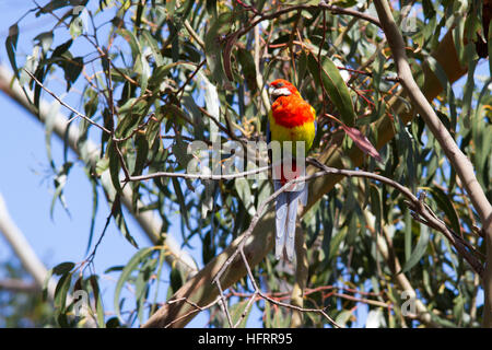Eastern Rosella (Platycercus eximius) perched in a tree - Stock Photo