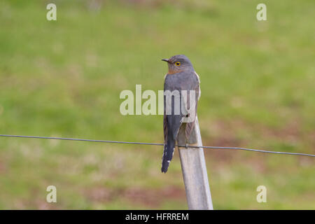 Fan-tailed Cuckoo (Cacomantis flabelliformis) perched on a post - Stock Photo