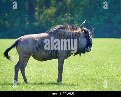 Blue wildebeest standing in grass in its habitat - Stock Photo