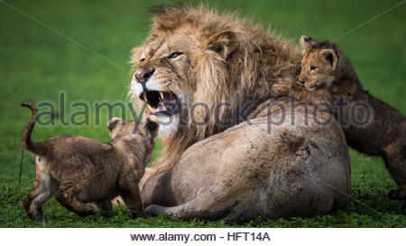 Lion growling at the kids - Stock Photo