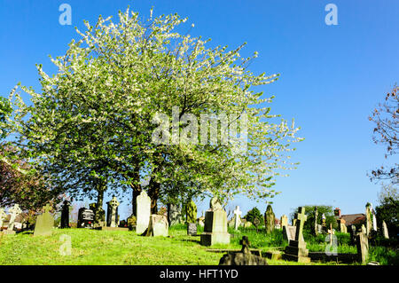 Apple tree growing in an old graveyard - Stock Photo