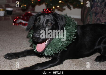 santa paws is coming to town //sweet black labrador retriever enjoying her first christmas being a wreath and a - Stock Photo