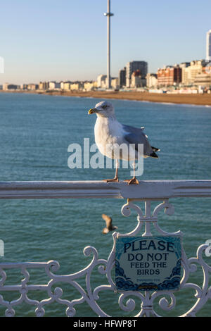 European herring gull (Larus argen) standing above a sign reading 'Please do not feed the birds'' on Brighton Pier, - Stock Photo
