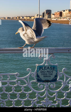 European herring gull (Larus argentatus) standing above a sign reading 'Please do not feed the birds'' on Brighton - Stock Photo