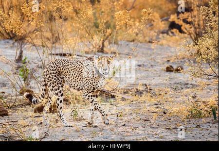 Cheetah (Acinonyx jubatus) walking, Sandibe Camp, by the Moremi Game Reserve, Okavango Delta, Botswana, southern - Stock Photo