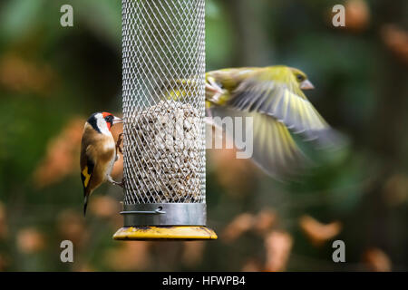European goldfinch (Carduelis carduelis) watches as a European greenfinch (Chloris chloris) flies from a bird feeder - Stock Photo