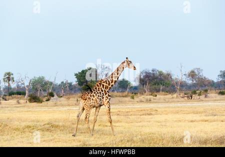 Southern giraffe, Giraffa camelopardalis, Nxabega Concession, Okavango Delta, northern Botswana, southern Africa - Stock Photo