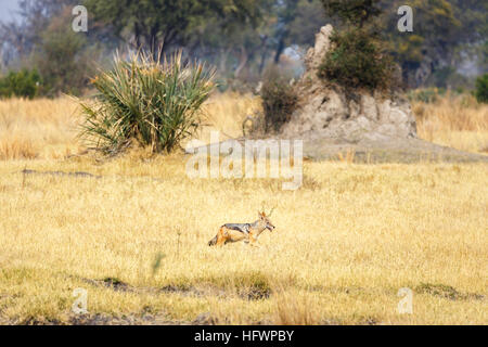 Black-backed jackal (Canis mesomelas) in front of a termite mound, Sandibe Camp, by the Moremi Game Reserve, Okavango - Stock Photo