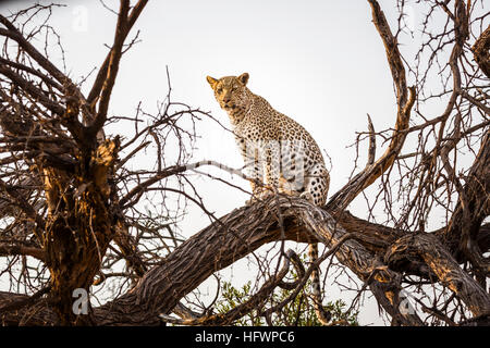 Leopard (Panthera pardus) in a tree, Sandibe Camp, adjacent to the Moremi Game Reserve, Okavango Delta, Kalahari, - Stock Photo
