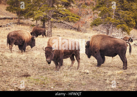 Retro toned American bison (Bison bison) grazing in Yellowstone National Park, Wyoming, USA. - Stock Photo