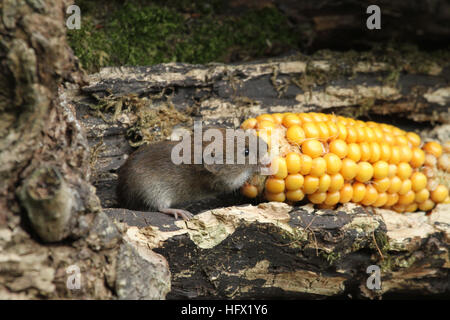 A Bank Vole (Myodes glareolus) with a corn on the cob that it is eating. - Stock Photo