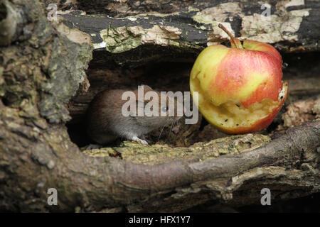 A Bank Vole (Myodes glareolus) with an apple that it has been eating. - Stock Photo