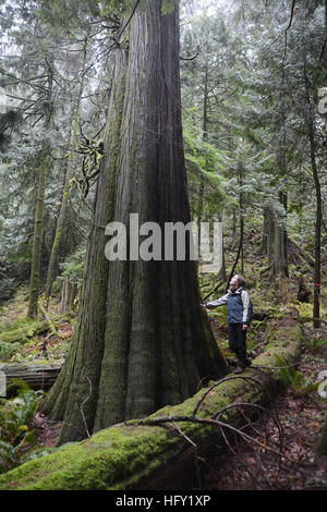A person standing mature giant red cedar tree in an old growth forest in the Coast Mountains of British Columbia, - Stock Photo