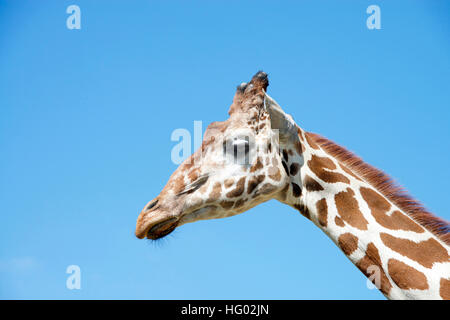 portrait of a giraffe with clear blue sky background - Stock Photo