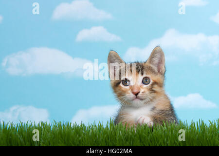 Tortie Tabby kitten perched below tall green spring grass looking forward with blue background white fluffy clouds. - Stock Photo