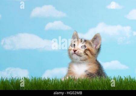 Tortie Tabby kitten perched below tall green spring grass looking forward to the side with blue background white - Stock Photo