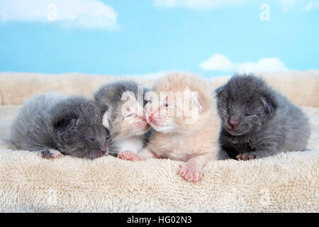 four one week old kittens eyes still mostly closed laying together on a tan fuzzy bed lined up side by side with - Stock Photo