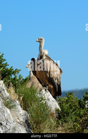 Griffon Vulture, Gyps fulvus, Perched on Rock and Cliffs in the Verdon Gorge Provence France - Stock Photo