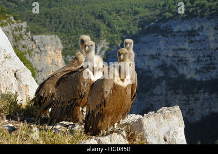 Group of Griffon Vultures, Gyps fulvus, Perched on the Cliffs of the Verdon Gorge Provence France - Stock Photo