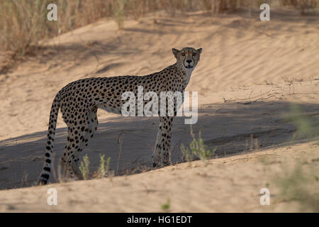 young cheetah standing in the dunes in shade - Stock Photo