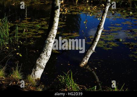 birch on the bank of a pond, landscape - Stock Photo