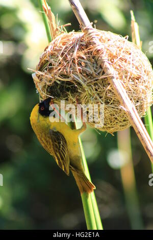 Southern African male Masked Weaver bird taking apart a nest. - Stock Photo