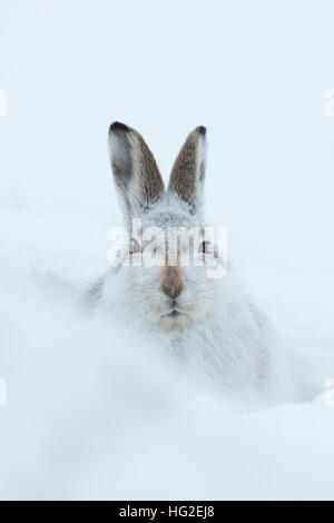 Mountain hare (Lepus timidus) resting in its form in the snow - Stock Photo